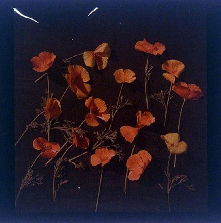 charles-c-zoller-california-poppy-wild-1907-1932-autochrome-via-eastmanuseum