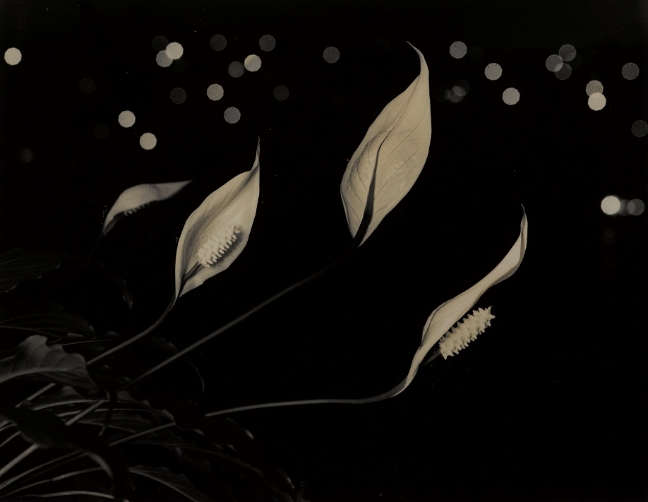 Max Dupain. Hawaiian lilies at night